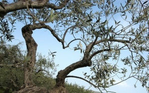 olive_tree_branches