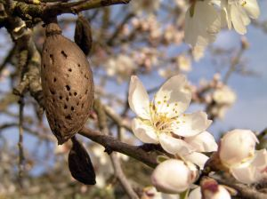 almond and blossom